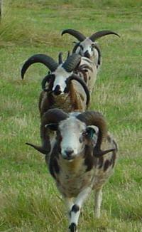 Jacob Sheep rams