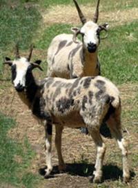 Jacob Sheep ewe